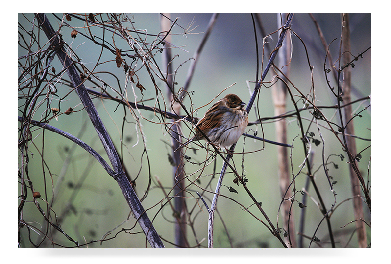 Hellowell reed bunting 798
